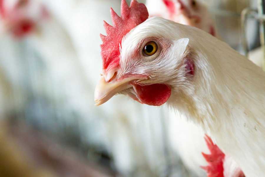 ImEx Gulf Poultry Nutrition